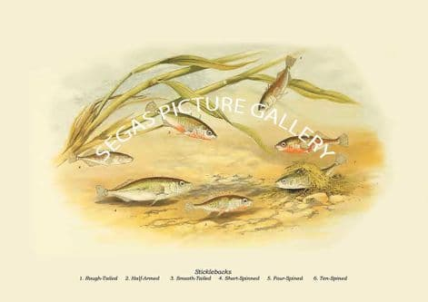 Fine art print of the Three-Spined Stickleback - Gasterosteus Aculcatus, Rough-Tailed, Half-Armed, Smooth-Tailed by the Artist Alexander Francis Lydon (1879)