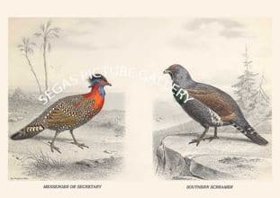 TRAGOPAN OF HASTINGS - GROUSE