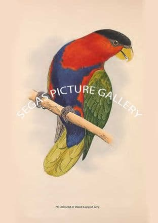 Tri-Coloured or Black-Capped Lory