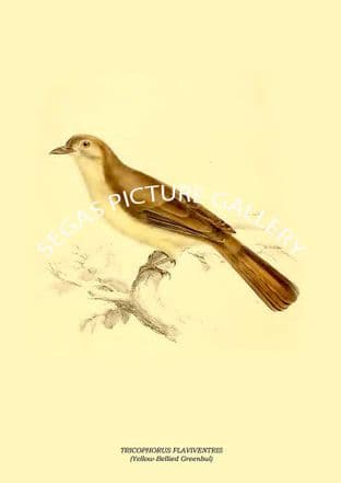 TRICOPHORUS FLAVIVENTRIS - Yellow-Bellied Greenbul