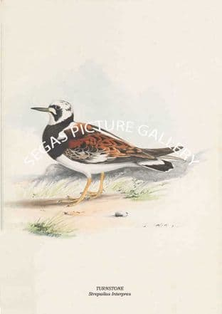 TURNSTONE - Strepailas Interpres