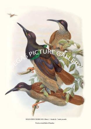 TWELVE-WIRED BIRD OF PARADISE - seleucides nigricans {shaw)  female &  male juvenile