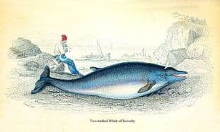 Two-teethed Whale of Sowerby