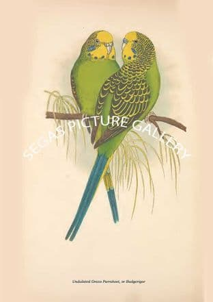 Undulated Grass Parrakeet, or Budgerigar