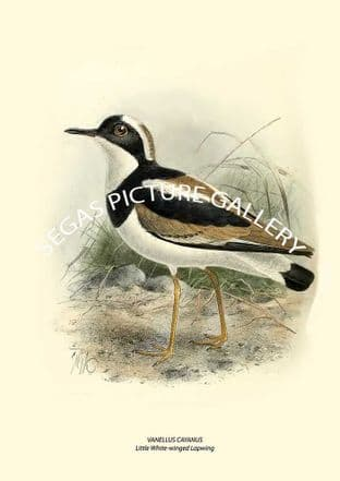 VANELLUS CAYANUS - Little White-winged Lapwing