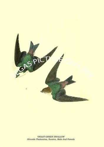 VIOLET-GREEN SWALLOW - Hirundo Thalassina, Swains, Male And Female