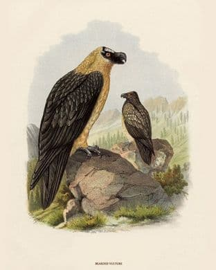 Vulture, Bearded by O V Riesenthal