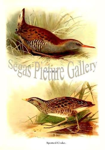 Water-Rail & Spotted Crake