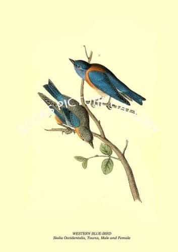 WESTERN BLUE-BIRD - Sialia Occidentalis, Towns, Male and Female