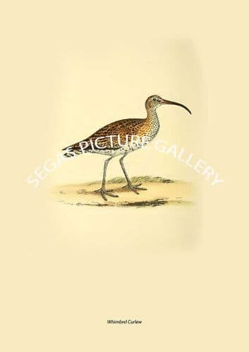 Whimbrel Curlew