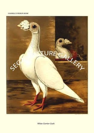 White Carrier Cock