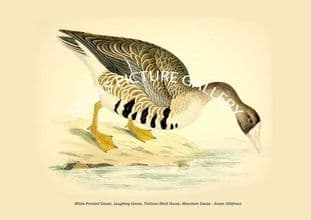 White-Fronted Goose, Laughing Goose, Tortoise-Shell Goose, Mountain Goose - Anser Albifrons