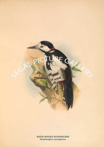 Fine art print of the WHITE-WINGED WOODPECKER - Dendrocopus Leucopterus by R. Bowdler Sharpe (1891)