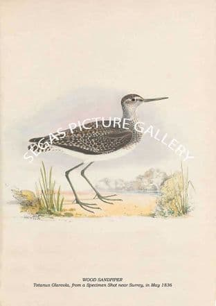 WOOD SANDPIPER - Totanus Glareola, from a Specimen Shot near Surrey, in May 1836