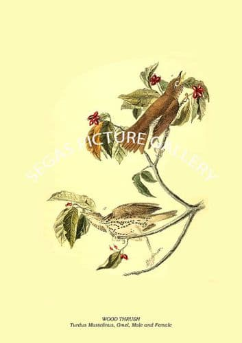 WOOD THRUSH - Turdus Mustelinus, Gmel, Male and Female