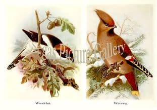 Woodchat & Waxwing