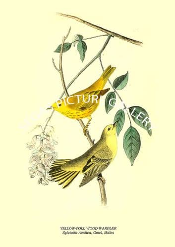 YELLOW-POLL WOOD-WARBLER - Sylvicola Aestiva, Gmel, Males