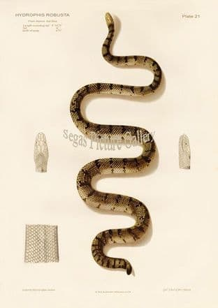 Yellow Sea Snake, Hydrophis robusta