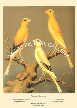 Yorkshire Canaries - evenly marked yellow