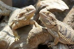Bearded Dragon / Iguana Seed Mix 10g - FREE POST