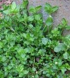 Chickweed seeds 150 - FREE POST